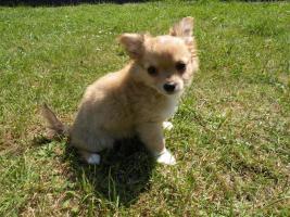 Chihuahuawelpen aus VDH/VK Zucht zu Verkaufen