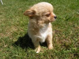 Foto 4 Chihuahuawelpen aus VDH/VK Zucht zu Verkaufen