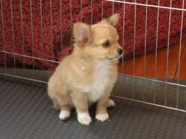 Foto 6 Chihuahuawelpen aus VDH/VK Zucht zu Verkaufen