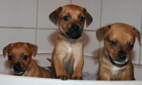 Foto 3 Chihuahuawelpen Zwergpinscherwelpen Rehpinscherwelpen Mix Welpen.