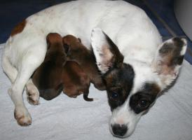 Foto 4 Chihuahuawelpen Zwergpinscherwelpen Rehpinscherwelpen Mix Welpen.