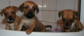 Foto 5 Chihuahuawelpen Zwergpinscherwelpen Rehpinscherwelpen Mix Welpen.