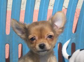 Chihuahuawelpen abzugeben