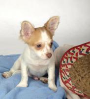 Chihuahuawelpen aus sehr gesunder Zucht mit Papieren