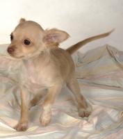 Foto 2 Chihuahuawelpen aus sehr gesunder Zucht mit Papieren