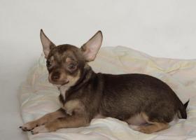 Foto 4 Chihuahuawelpen aus sehr gesunder Zucht mit Papieren