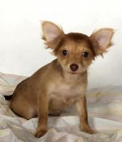 Foto 5 Chihuahuawelpen aus sehr gesunder Zucht mit Papieren