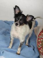 Foto 7 Chihuahuawelpen aus sehr gesunder Zucht mit Papieren