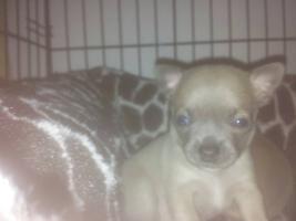 Chihuahuawelpen aus seriöser Liebhaberzucht