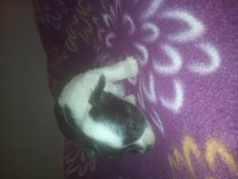 Foto 4 Chihuahuawelpen aus seriöser Liebhaberzucht