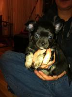 Chihuahuawelpen aus verantwortungsvoller Zucht mit Ahnentafel