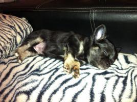 Foto 2 Chihuahuawelpen aus verantwortungsvoller Zucht mit Ahnentafel
