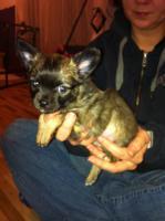 Foto 3 Chihuahuawelpen aus verantwortungsvoller Zucht mit Ahnentafel
