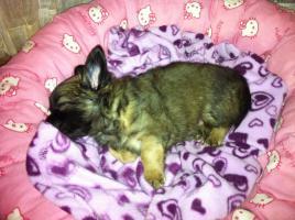 Foto 4 Chihuahuawelpen aus verantwortungsvoller Zucht mit Ahnentafel