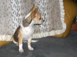 Chihuahuawelpen, Chiwawa, Chiwawazüchter hunde