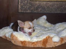 Foto 3 Chihuahuawelpen, Chiwawa, Chiwawazüchter hunde