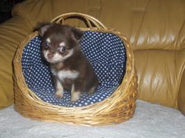 Foto 4 Chihuahuawelpen, Chiwawawelpen