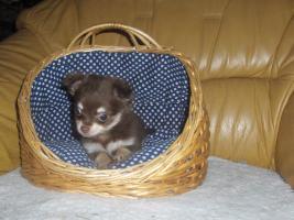 Foto 5 Chihuahuawelpen, Chiwawawelpen