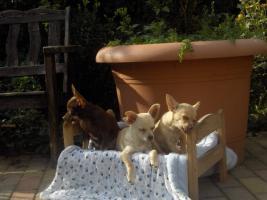 Chihuahuawelpen, Chiwawawelpen