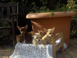 Foto 2 Chihuahuawelpen, Chiwawawelpen