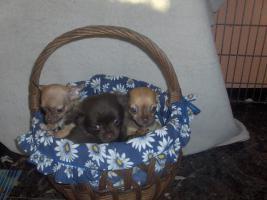 Foto 2 Chihuahuawelpen, Chiwawawelpen, Chiwawazüchter