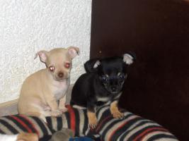 Foto 4 Chihuahuawelpen, Chiwawawelpen, Chiwawazüchter