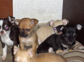 Foto 6 Chihuahuawelpen, Chiwawawelpen, Chiwawazüchter