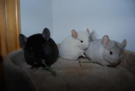 Foto 2 Chinchilla