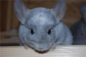 Chinchilla-Böckchen