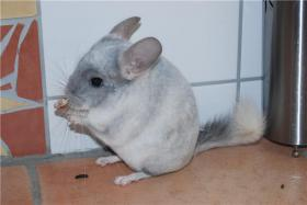 Foto 4 Chinchilla-Böckchen