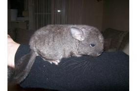 Chinchilla B�ckchen Dringend!!!!
