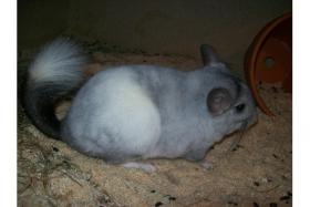 Foto 2 Chinchilla B�ckchen Dringend!!!!