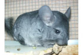 Foto 4 Chinchilla B�ckchen Dringend!!!!