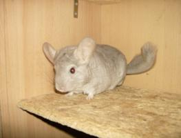 Chinchilla, w, Beige, geb. 15.10.10