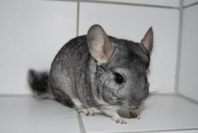 Foto 2 Chinchillas