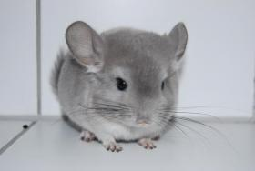 Foto 6 Chinchillas