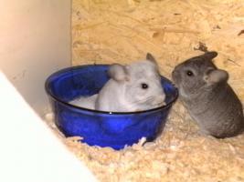 Foto 4 Chinchillas Babys suchen ein neues zu Hause