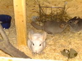 Foto 5 Chinchillas Babys suchen ein neues zu Hause
