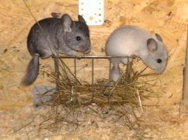 Foto 6 Chinchillas Babys suchen ein neues zu Hause