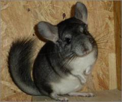 Foto 3 Chinchillas aus Hobbyzucht