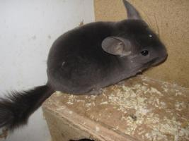 Chinchillas aus Zuchtaufgabe (Tierversand möglich)