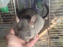 Foto 3 Chinchillas mit großem Käfig und Zubehör kostenlos abzugeben