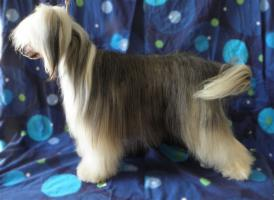 Chinese Crested Deckrüde, 29cmGross m. VDH Papiere