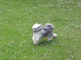 Foto 5 Chinese Crested Deckrüde, 29cmGross m. VDH Papiere