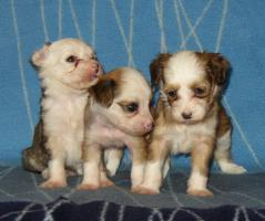Foto 4 Chinese Crested Dog Welpen