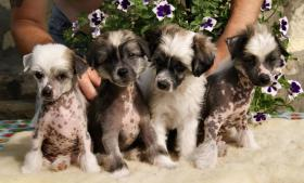 Chinese Crested Dog Welpen