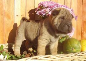 chinese faltenhund shar pei welpen in graz welpen r de. Black Bedroom Furniture Sets. Home Design Ideas