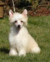 Foto 2 Chinese crested dog