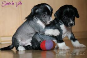 Chinesischer Schopfhund (Chinese Crested Dog)