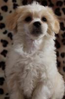 Chinesischer Schopfhund (Chinese Crested Dog) Welpen.